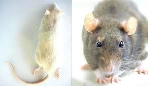 Feeder Mice Sizes Printablediagram Co