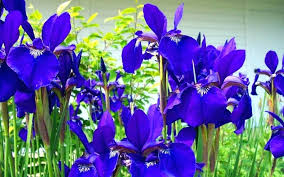 garden flowers names garden plants with blue flowers free wallpaper types of blue roses naturally arrangements