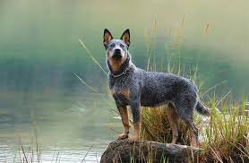 Cattle Dog Weight Chart Australian Cattle Dog Breed Information Pictures