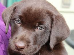 A Labradors Color Might Determine Its Life Span