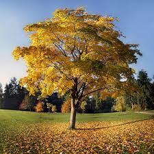 Image result for Sycamore tree in autumn