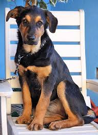 german shepherd rottweiler mix puppies. Delighful Rottweiler Raylin Von Colbert Is A Stunning 4 Month Old German ShepherdRottweiler Mix  Puppy She Will Be Huge  Already Weighs Close To 50 Pounds For Shepherd Rottweiler Mix Puppies