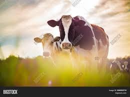 Light Livestock Cows Taken Against Image Photo Free Trial Bigstock