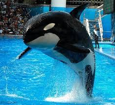 original shamu.  Shamu Sad News Out Of Orlando This Morning As Another Orca Has Died In Captivity  25yearold Kalina Who Was Dubbed The U201cOriginal Baby Shamuu201d First  With Original Shamu A