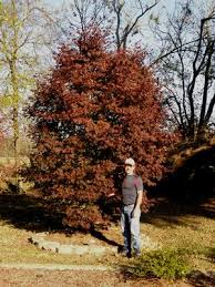 Japanese Maple Growth Chart How And When To Properly Water Japanese Maple Trees