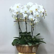 all occasions erfly phalaenopsis orchid
