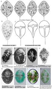 PLOS ONE: Systematics of a Kleptoplastidal Dinoflagellate ...