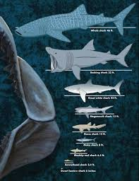 sharks smithsonian ocean portal shark sizes whale shark 46 feet basking shark 33 feet great white shark