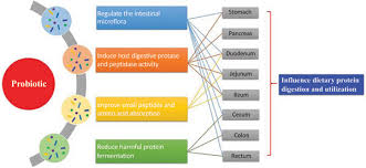 Protein Digestion Influence Of Probiotics On Dietary Protein Digestion And