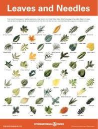 Pdf Files Of Leaf Needle Seed Bark Identification It Is