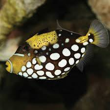 clown triggerfish. Interesting Triggerfish ClickTouch  On Clown Triggerfish