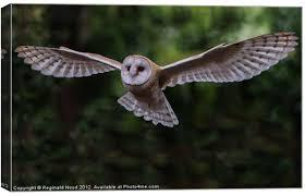 Barn Owl Canvas print by Reginald Hood