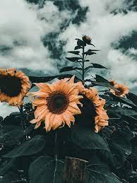 Aesthetic Sunflower - 1733x2311 ...