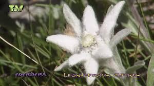 Flora View - Edelweiss - Leontopodium alpinum - YouTube