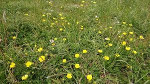 Daphne's Field wild flower meadow - St Wulfran's
