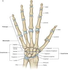 Diagram Of Hand And Wrist Wrist Hand Anatomy Bones
