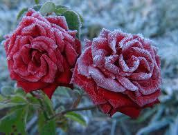 Rose, genus of some 100 species of perennial shrubs in the rose family (rosaceae). Roses Winter Care Preparing Roses For Winter