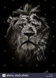 lion portrait black and white.  Black Moody Lion Portrait In Black And White  Stock Image Inside Lion Portrait Black And White S