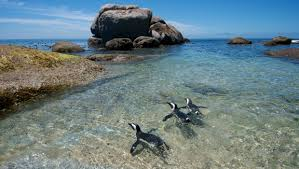 photo essay the penguins of boulders beach afkinsider penguins of boulders beach