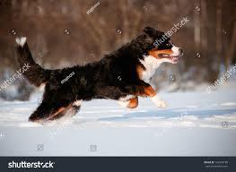 Bernese Mountain Dog Running Jumping ...