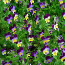 Images & Illustrations of genus Viola