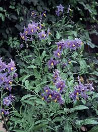 Roses That Climb On Fence  Clematis Montana U0027Mayleenu0027  Climbing Climbing Plants That Like Shade