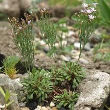 Limonium virgatum ssp. dictyocladum