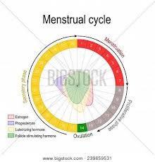 Menstrual Cycle And Hormone Level Ovarian Cycle Follicular