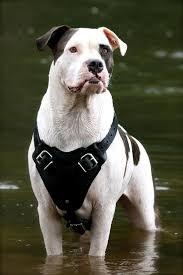 american bulldog pitbull boxer mix. Beautiful American Just Take A Look At This American Bulldog In American Bulldog Pitbull Boxer Mix E