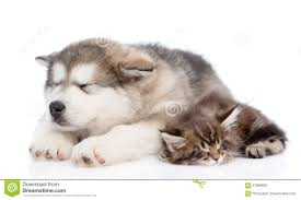 puppy and kitten sleeping. Perfect Sleeping Alaskan Malamute Puppy And Maine Coon Kitten Sleeping Together Isolated On  White Throughout Puppy And Kitten Sleeping U