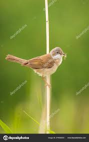 564 Whitethroat Pictures Whitethroat Stock Photos Images