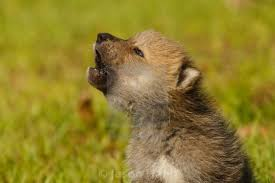gray wolf pups howling. Perfect Pups In Gray Wolf Pups Howling G