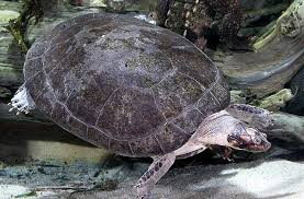 amazon river animals.  Amazon Giant Amazon River Turtle To Animals I