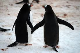 two penguins holding hands. Fine Holding 07B Two Gentoo Penguins Holding Hands On The Ridge Above Neko Harbour  Quark Expeditions Antarctica Cruise For A