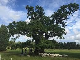 Oak Wikipedia