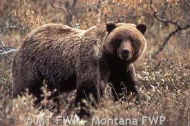 Grizzly Bear Classification Chart Grizzly Bear Montana Field Guide