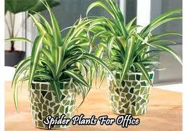 office plants for sale. Unique Plants Best Office Plants Spider Plant For Sale Online With Office Plants For Sale