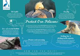 international bird rescue every bird matters  web pelican 72dpi rgb