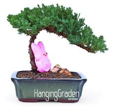 office bonsai tree. Big Promotion!50 Pcs/Bag Juniper Bonsai Tree Potted Flowers Office Purify The Air Absorb Harmful Gases,#H8UW0G-in From Home \u0026 Garden On