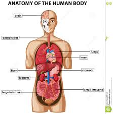 Organs In The Human Body Image Internal Organs Human Body Image Internal Organs