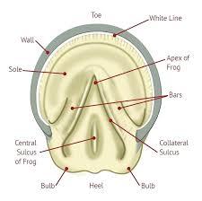 Horse Hoof Anatomy Diagram Shopnext Co