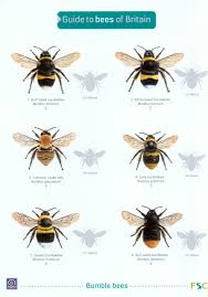 Bee Identification Chart Uk Guide To Bees Of Britain
