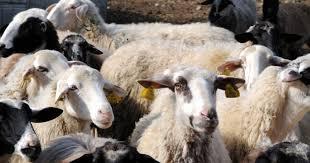 Αποτέλεσμα εικόνας για ευλογια προβατων λεσβος