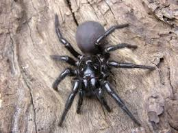 Spider Identification Chart Arkansas Funnel Web Spiders Families Bites Other Facts Live Science