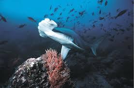 hammerhead shark habitat.  Hammerhead Picture In Hammerhead Shark Habitat D