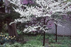 Cercis canadensis var. alba | Landscape Plants | Oregon State University