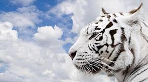 white tiger wallpaper hd 1080p. Contemporary White White Tiger Wallpaper Hd 1080p 1219  Kariswallcom For P