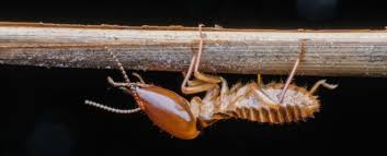 Image result for termites carry diseases that are harmful to humans