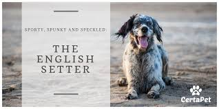 English Setter Weight Chart Sporty Spunky And Speckled The English Setter Dog Breed