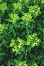 File:Euphorbia gasparrinii.jpg - Wikipedia